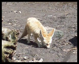 Fennec Fox 001 by Yampics