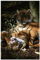 Playful Baby Tigers by TVD-Photography