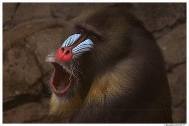 Male Mandrill: So surprised by TVD-Photography