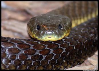 Tiger Snake by TVD-Photography