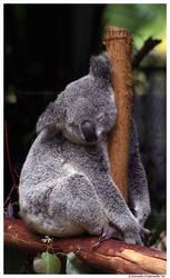 Sleepy Koala by TVD-Photography