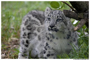 Baby Snow Leopard V by TVD-Photography