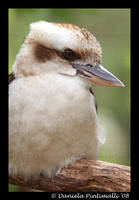 Kookaburra Portrait by TVD-Photography