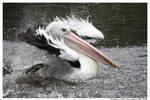 Bathing Pelican III by TVD-Photography
