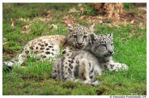 Baby Snow Leopards II by TVD-Photography