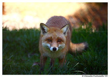 Fantastic Mr Fox by TVD-Photography