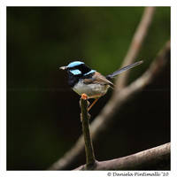 Superb Fairy Wren by TVD-Photography