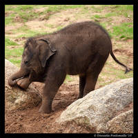 Itchy Baby Elephant by TVD-Photography