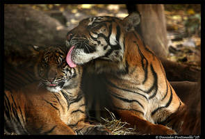 Tigers: Bath Time by TVD-Photography