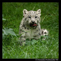 Baby Snow Leopard: Tasty III by TVD-Photography