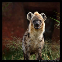 Hyena II by TVD-Photography