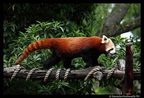 Run Panda Run by TVD-Photography