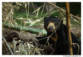 Bear Stare by TVD-Photography