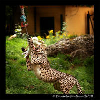 Cheetah Lunch by TVD-Photography
