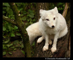 Arctic Fox by TVD-Photography