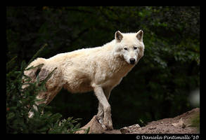 Arctic Wolf by TVD-Photography