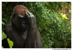 Gorilla portrait III by TVD-Photography