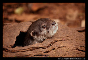 Otter: Peek-a-boo by TVD-Photography