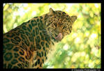 Amur Leopard by TVD-Photography