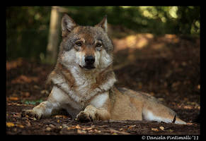 Wolf by TVD-Photography