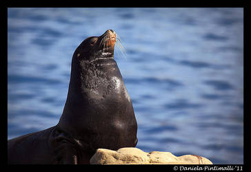 Sealion Pose by TVD-Photography