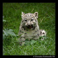 Baby Snow Leopard: Tasty VII by TVD-Photography