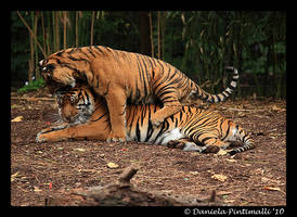 Tiger head noms by TVD-Photography