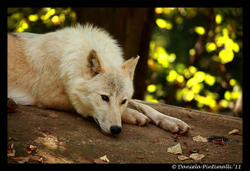 Arctic Wolf: Contemplative by TVD-Photography