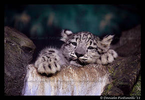 Baby Snow Leopard XII by TVD-Photography