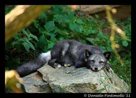 Arctic Fox II by TVD-Photography