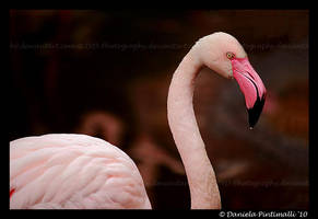 Flamingo II by TVD-Photography