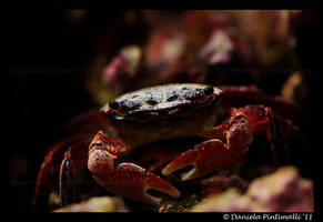 Crab by TVD-Photography