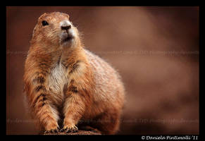 Prarie Dog II by TVD-Photography