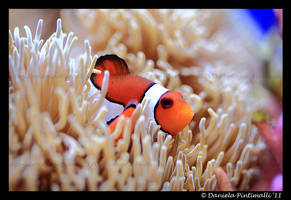 Clown Fish III by TVD-Photography