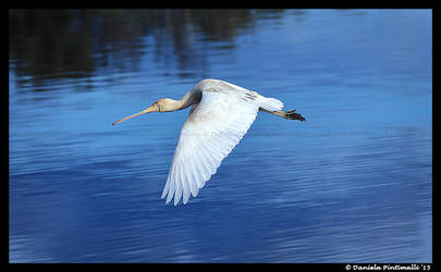 Flying Spoonbill by TVD-Photography