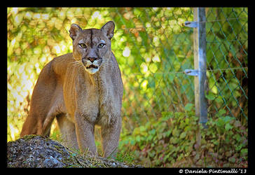 Puma: Stare by TVD-Photography