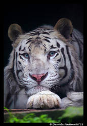 White Tiger stare by TVD-Photography