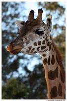 Giraffe Portrait by TVD-Photography
