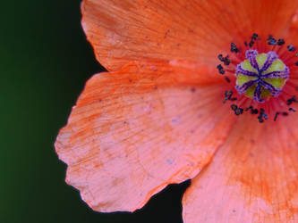 Pretty poppy by Edwige-Lch