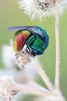 cuckoo wasp ( Pseudomalus auratus ) by zgrkrmblr