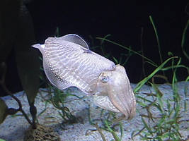 Cuttlefish by Akuma-Hunter