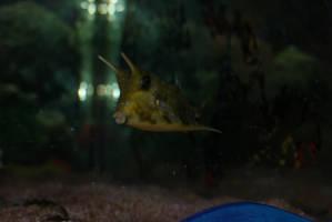 Cute Boxfish by Ljtigerlily