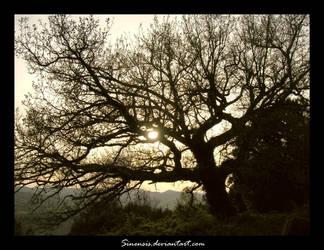 Centenarian tree by Sinensis