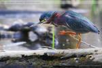 Green Heron 8110 by Sooper-Deviant