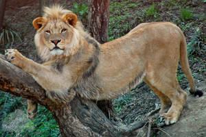 Leaning Lion by JEnglePhotography