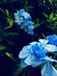 Mexican Blue 2 by JoyJinn