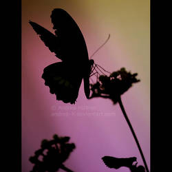 butterfly IV by quadratiges