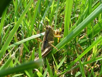 Grasshopper by DragonGuy42