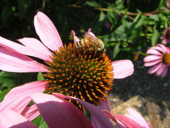 Bee and Coneflower by DragonGuy42