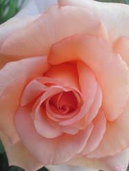 Rose by NorthwestPurity